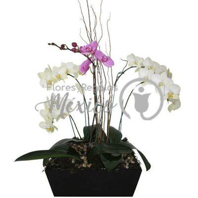 orquidea5varas