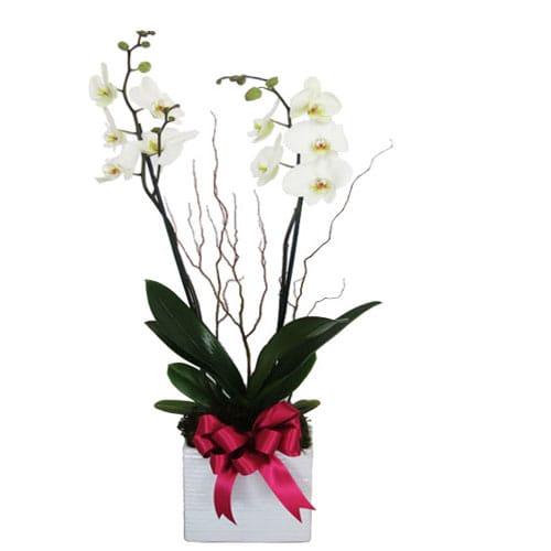 Orquidea Bella